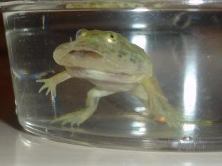 Frog009